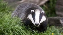 Men jailed after filming dogs mauling badgers to death in what judge calls 'medieval barbarity'