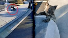 Tragic twist after 'cute' koala found disorientated in Westfield car park