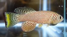 African fish may hold key to stopping ageing in humans