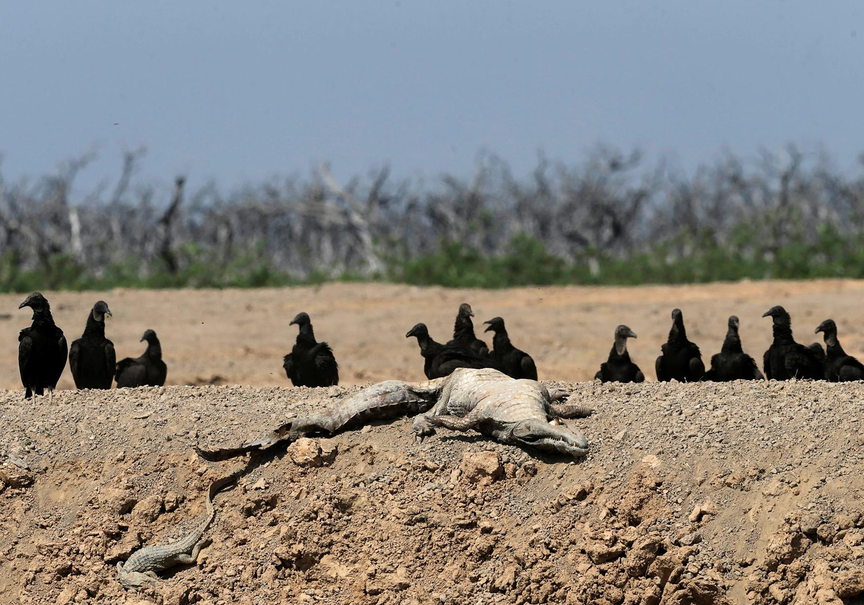 <p>Vultures sit next to the carcass of a yacare caiman at a dried-up artificial pond at the Agropil ranch in Boqueron, Paraguay on Aug. 14, 2016. (Photo: Jorge Adorno/Reuters) </p>