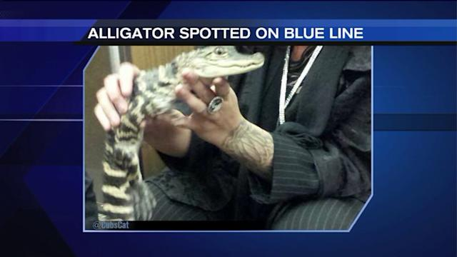 Woman charged after baby alligator found at O`Hare