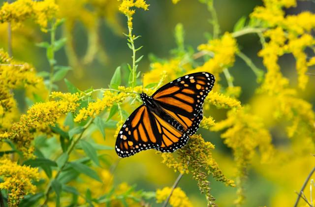 App allows citizen scientists to track monarch butterfly migration