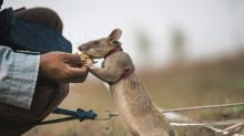 Landmine detection rat wins top UK animal bravery award