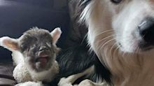 Blake the sheepdog returns - but without his best friend Bella, the orphaned lamb