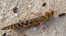 Pakistan to consider importing insecticides from India to fight locusts