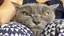 Shamo, ¡la gata más cabreada del mundo!