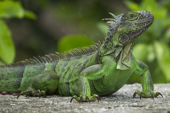 """Ivory, knock-off purses and exotic animals are some of the souvenirs that could land you in trouble at the airport. In 2012, a <a href=""""http://travel.aol.co.uk/2012/08/04/tourist-stopped-cardiff-airport-holiday-iguana-skin-bag-illegal-morocco/"""" target=""""_blank"""">British holidaymaker was stopped at Cardiff Airport when she returned from a trip to Morocco with a handbag made from a WHOLE iguana</a>. The bag, which included the animal's head and claws, was quickly confiscated by custom officers as iguanas are on a list of endangered animal skins and is illegal in Britain. Alex Lawther, assistant director of the Border Force in Wales, warned tourists about not buying animal skin bags at markets and bazaars on their exotic holidays. """"My message to holidaymakers is simple - don't do it,"""" he said. """"At best, you will have these items taken off you and at worst you could face a criminal conviction."""""""