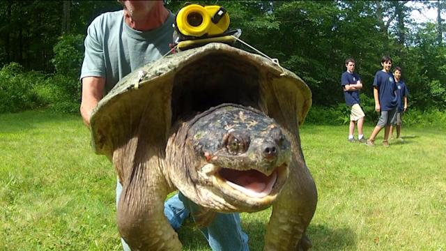 National Geographic Tagging Turtles In Connecticut