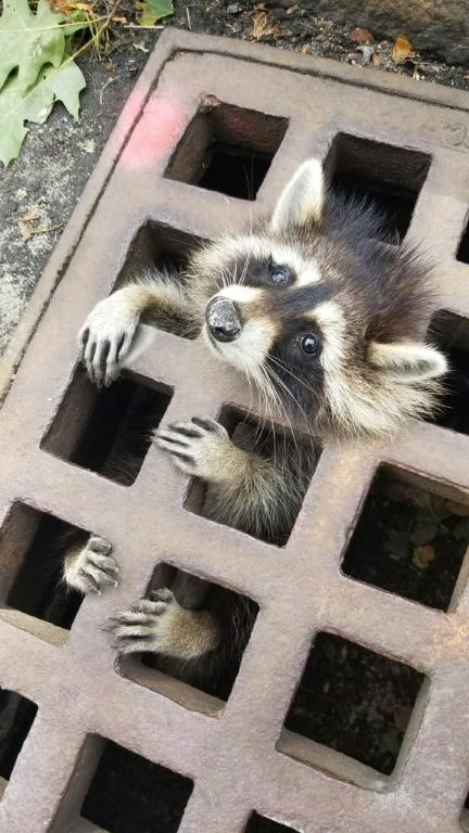 Massachusetts firefighters had to sedate the raccoon in order to free it (AFP Photo/HO)