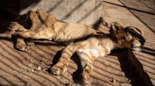 Economic strife affects lions in Sudan's zoo: Images of impoverished lion cause international uproar