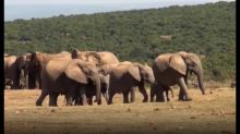 Mother elephant to the rescue as baby screams