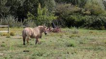 """Chevaux mutilés : """"On ne va pas pouvoir continuer éternellement à dormir avec nos chevaux"""", déplore une éleveuse"""