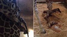 April The Giraffe Is Finally Giving Birth