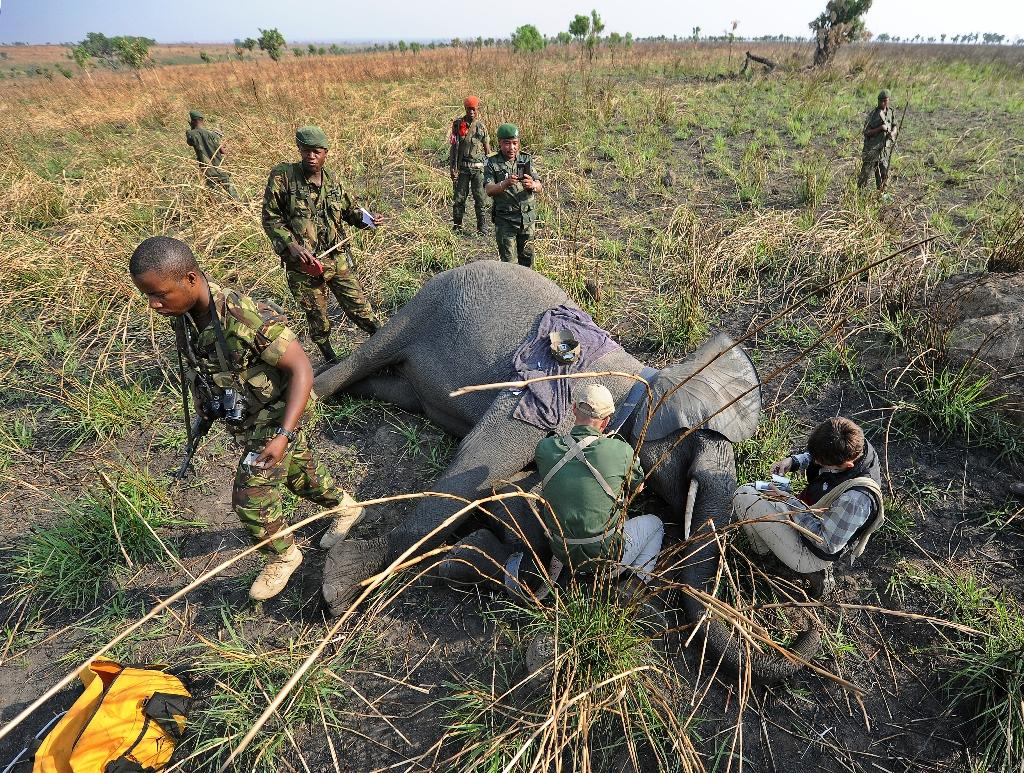 A young female elephant lies sedated as Garamba National Park rangers attach a GPS collar to track her movements (AFP Photo/Tony Karumba)