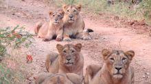 Unos leones posan para un adorable retrato familiar