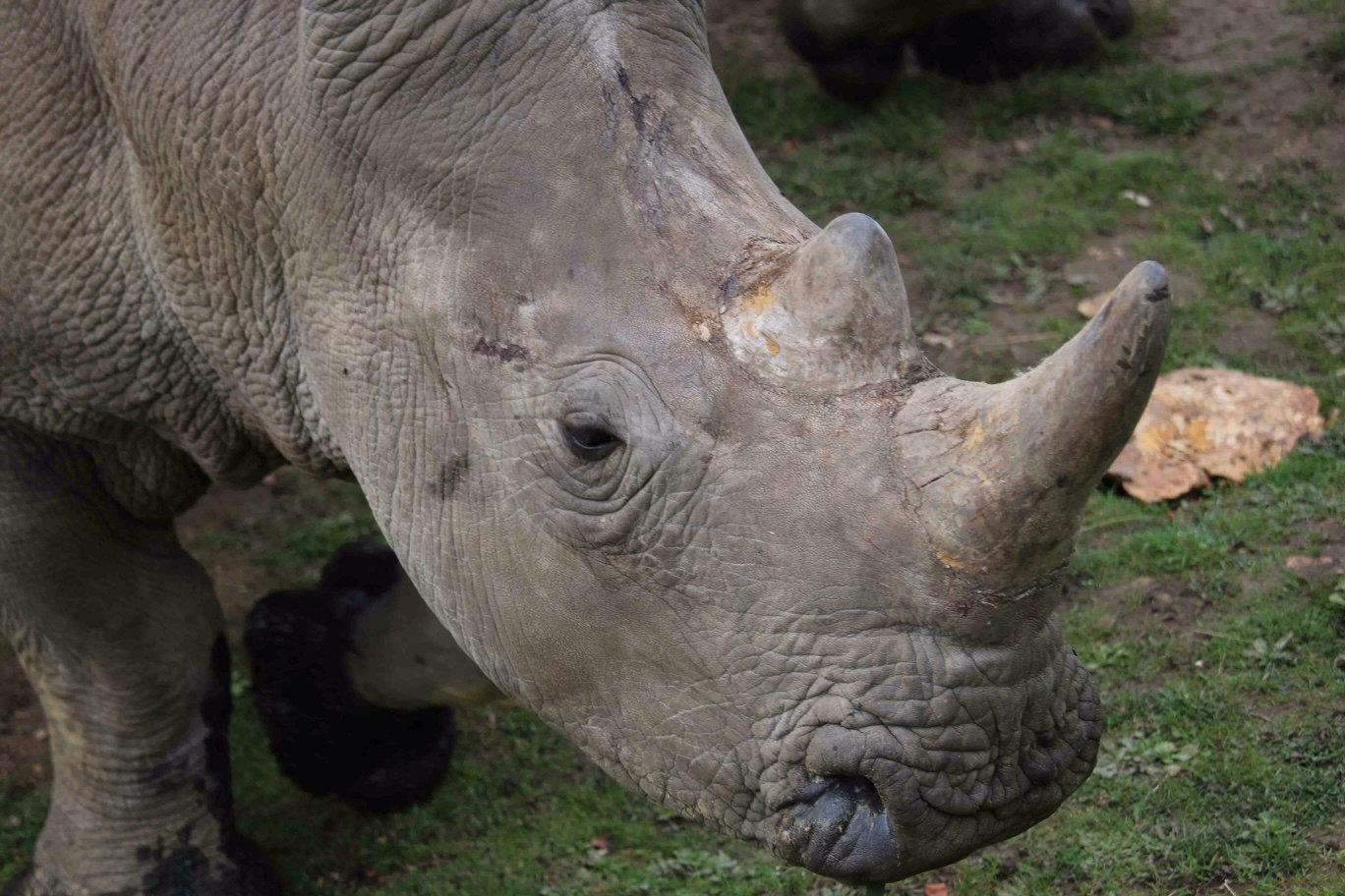 The four-year-old male white rhino called Vince is seen in this handout picture released by the Domaine de Thoiry (Thoiry zoo and wildlife park) on March 7, 2017. The four-year-old male white rhino called Vince was found dead in his enclosure by his keeper at the Thoiry zoo and wildlife park about 50 km (30 miles) west of Paris on Tuesday morning after an overnight break-in, the zoo said. Poachers broke into a French zoo, shot dead a rare white rhinoceros and sawed off its horn in what is believed to be the first time in Europe that a rhino in captivity has been attacked and killed. Arthus Boutin /Domaine de Thoiry/Handout via REUTERS THIS IMAGE HAS BEEN SUPPLIED BY A THIRD PARTY. FOR EDITORIAL USE ONLY. NO RESALES. NO ARCHIVES