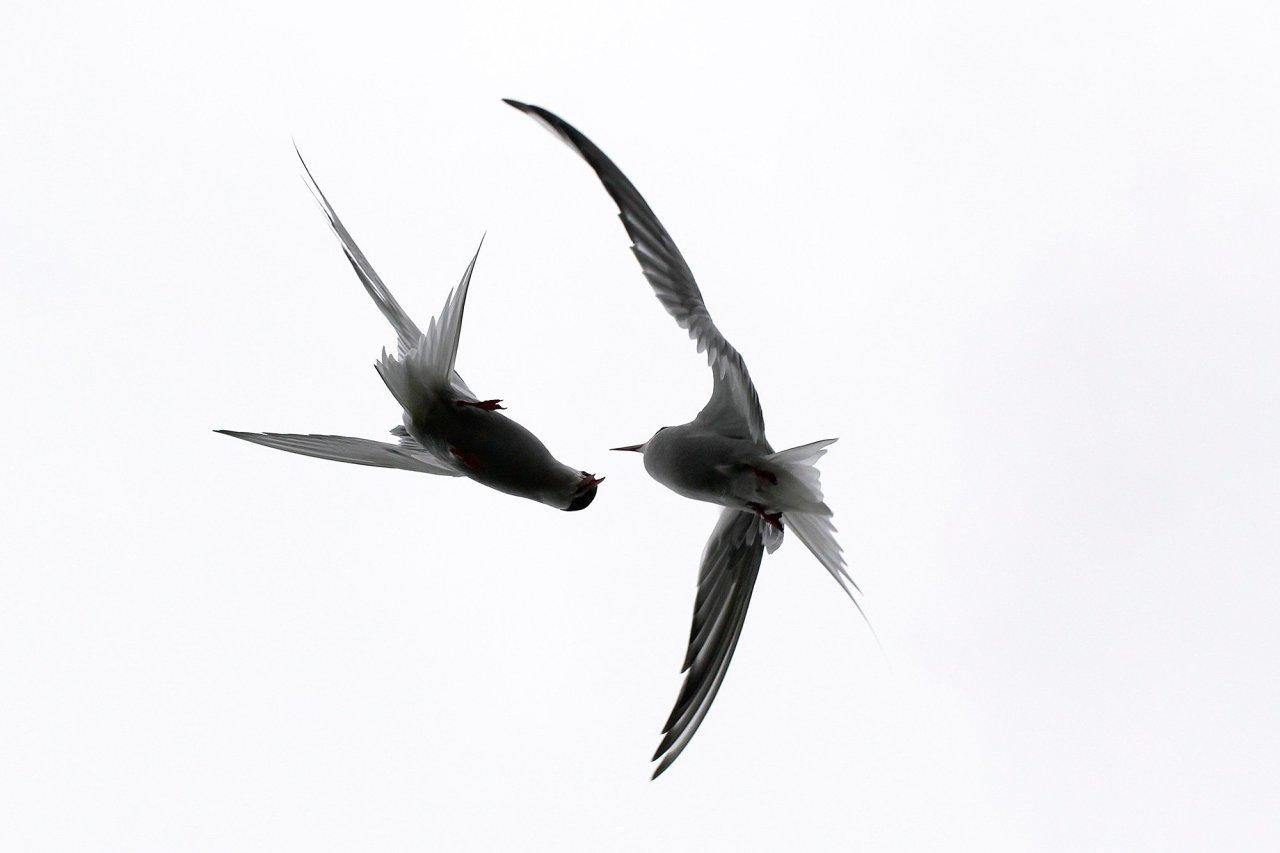 <p>This striking image was taken on the Isle of May, Scotland, capturing the moment two birds engaged in combat. (Image ZSL/Alicia Hayden)<br></p>