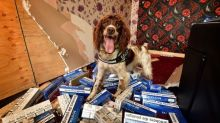 Sniffer dog Scamp has £25k bounty placed on his head by criminals after detecting £6m of illegal tobacco in five years, claims owner