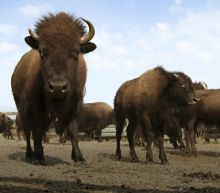 Motorcyclist survives violent bison attack in South Dakota