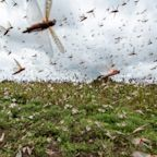 Locust swarms descend on East Africa, posing 'major food security problem'