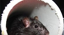 Rats! Chicago Tops Orkin's Rattiest Cities List for Sixth Consecutive Time