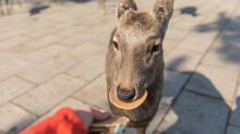 Japan's famous Nara deer killed by tourists' plastic waste