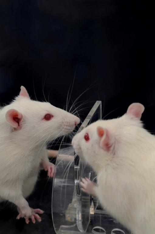 This undated handout photo courtesy of the University of Chicago shows what happens when multiple rats encounter a rat trapped in a restrainer, helping it by opening the restrainer door earlier and more consistently than does a single rat (AFP Photo/David CHRISTOPHER)