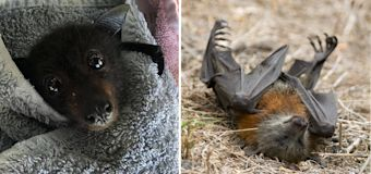 Don't touch bats found 'starving to death' in wild