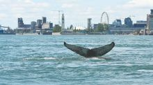 Whales Have Cancer Resistance Cells 'Written in Their Genes' Finds New Study
