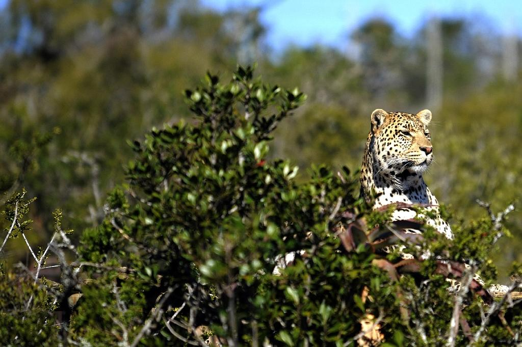 A leopard sneaks out from the bush at the Born Free Foundation on May 12, 2010 in the Shamwari Game Reserve