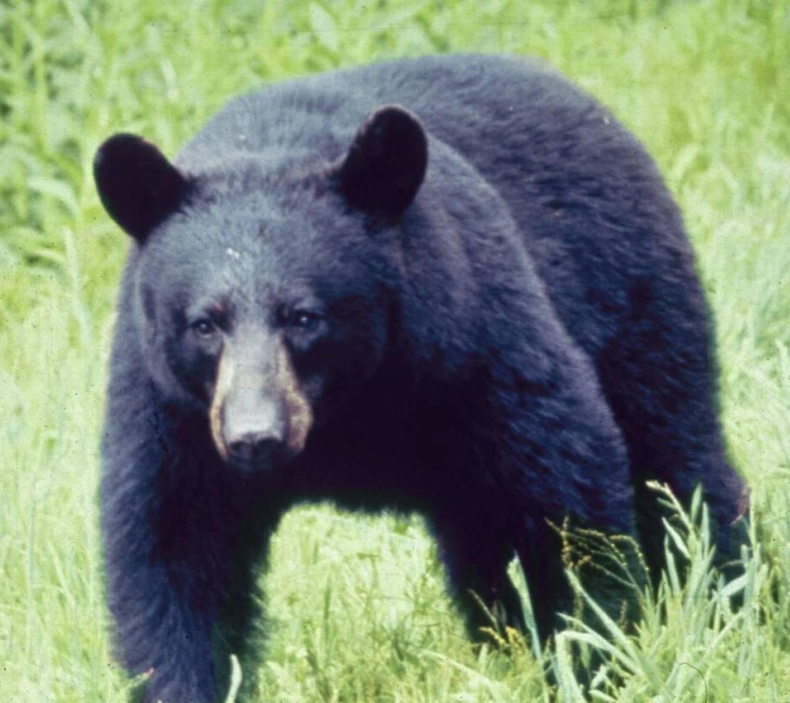 A bear was hit by a car, then someone stole its head. Colorado cops want answers