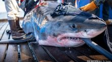 'More than we expected': Ocearch spots 5 great white sharks off Cape Breton