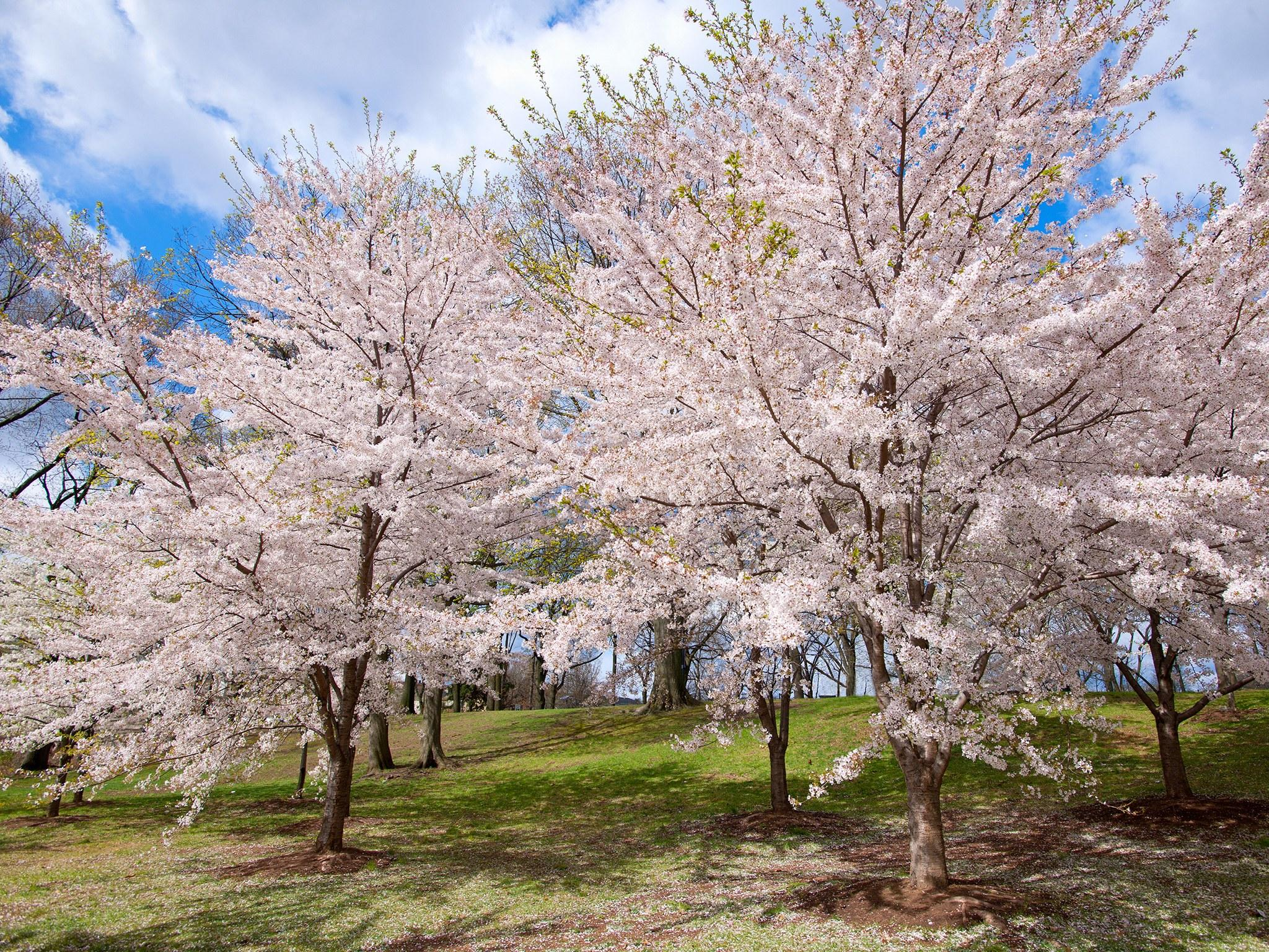 Branch Brook Park Cherry Blossom Festival 2020.Where To See Cherry Blossoms In The U S Besides D C