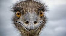 A hotel in Australia had to ban a pair of 6-foot emus for overstepping their guest privileges