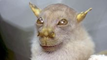 Fruit bat that looks uncannily like Star Wars Jedi Master Yoda is officially recognised as new species