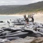 Over 140 whales found dead after mass stranding in Western Australia