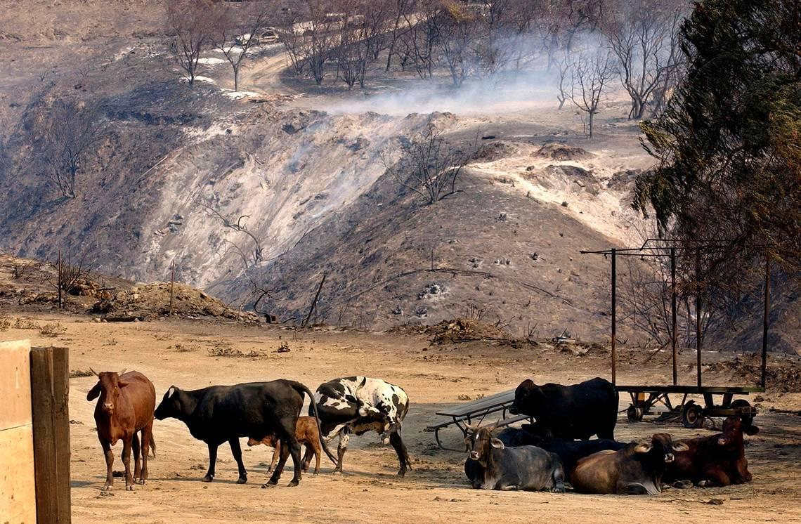 Cattle might be secret weapon in fight against wildfires, experts say. Here's how