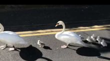 Adorable Family of Swans Seen Walking Down Road in Irish Town