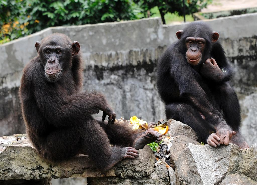 """Attorney Steven Wise argues that apes, chimpanzees, elephants and orcas are as entitled to the rights of """"persons"""" under law as are people or corporations (AFP Photo/Sia Kambou)"""