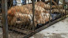 Emaciated lion Jupiter returning home to 'mother'