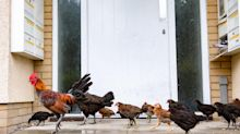 Diss can't be happening! Norfolk housing estate overrun by 200 'feral' chickens