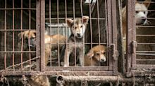 Animal rescuers save 170 dogs from South Korean canine meat farm