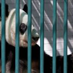 Humans should stop meddling with pandas and let them die