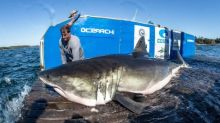 Why more great white sharks are showing up in Atlantic Canada