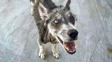 Rescate de un husky: No te creerás que es la misma perra