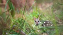 Spotted marsupial returned to mainland Australia after half century