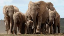 Poaching may have forced female elephants in Africa to evolve away their tusks