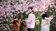 Qué significa que los cerezos hayan florecido en Japón mucho antes de lo normal