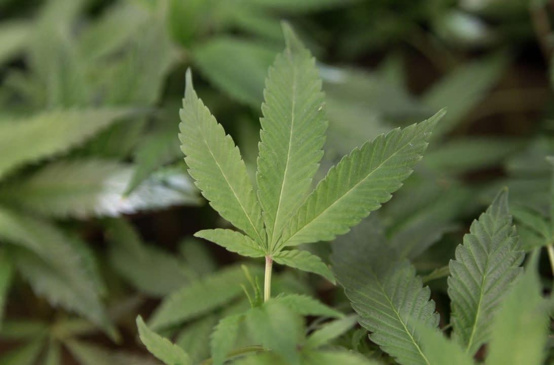 Скачать bbc марихуана как получить масло конопли