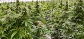 Marijuana plants inside greenhouse farm. (Getty Images)